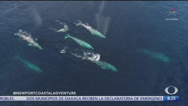 ballenas grises en california