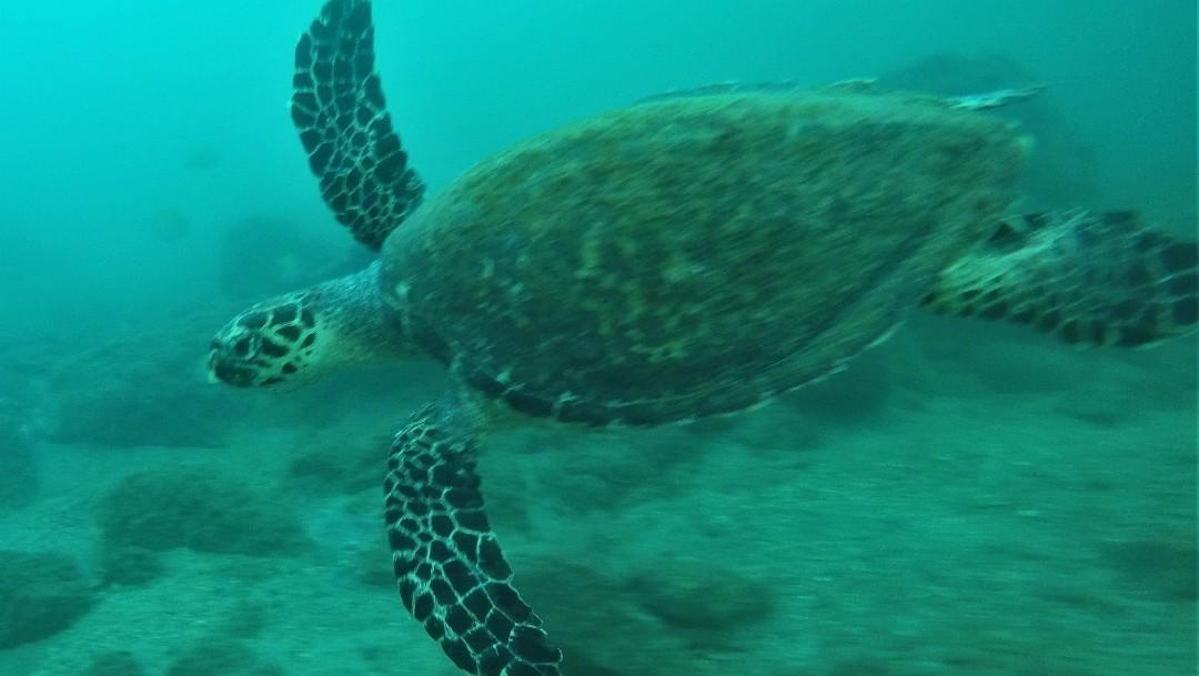 Crece número de tortugas carey que anidan en costas de Campeche