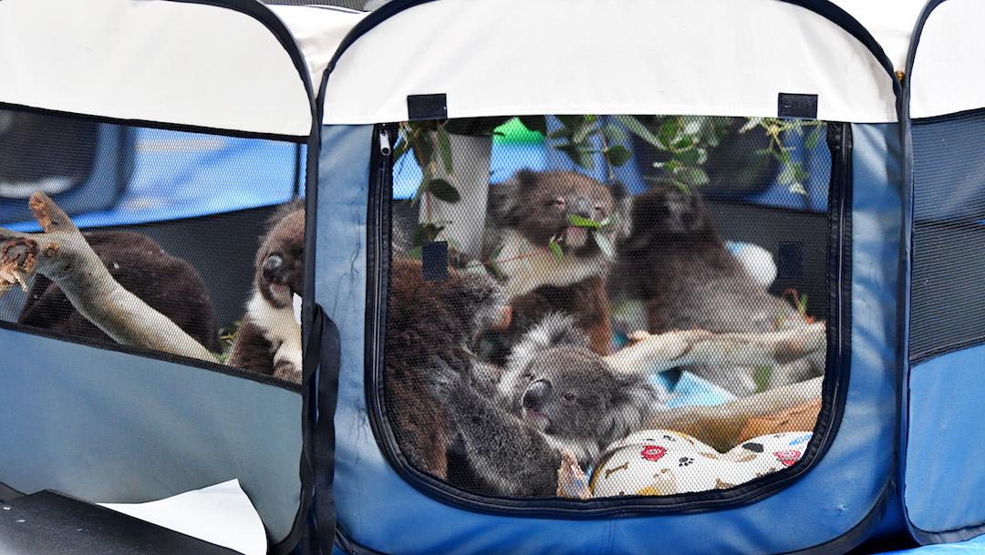 Foto Convierten escuela en refugio para koalas que sobrevivieron a incendios en Australia 10 enero 2020