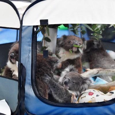 Convierten escuela en refugio para koalas que sobrevivieron a incendios en Australia