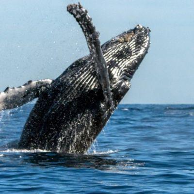 Ballenas grises viajan de Alaska a Baja California Sur
