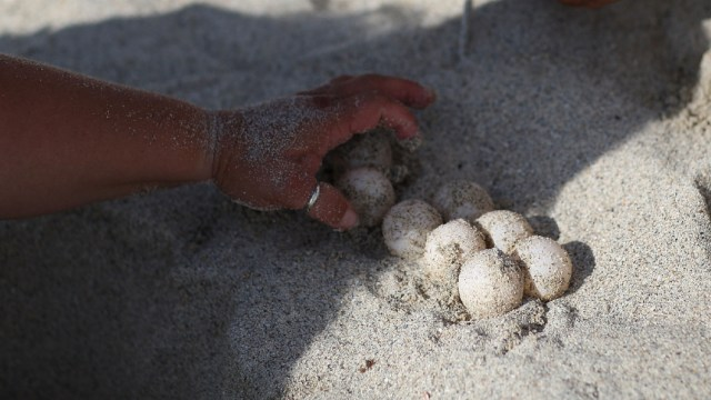 FOTO: Huevos de tortuga, el 06 de enero de 2020