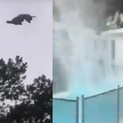 Video: Lanzan un cerdo desde un helicóptero a una piscina en Uruguay; lo asan y se lo comen