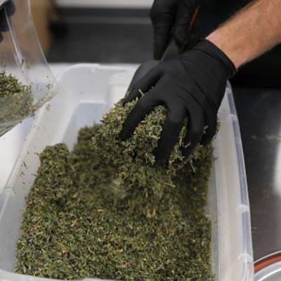 Senado discutirá regulación de la marihuana.