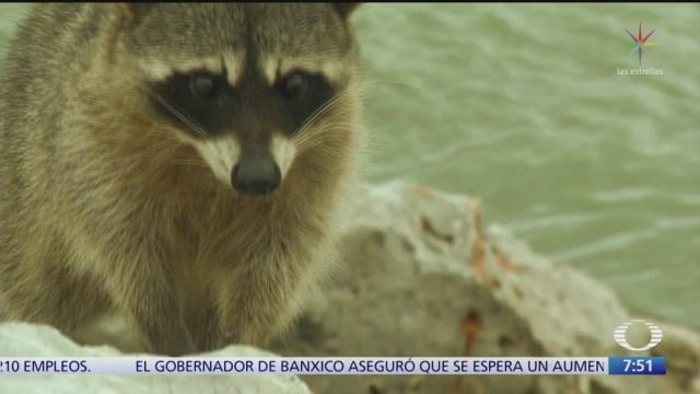 playa miramar hogar de mapaches que conviven con turistas
