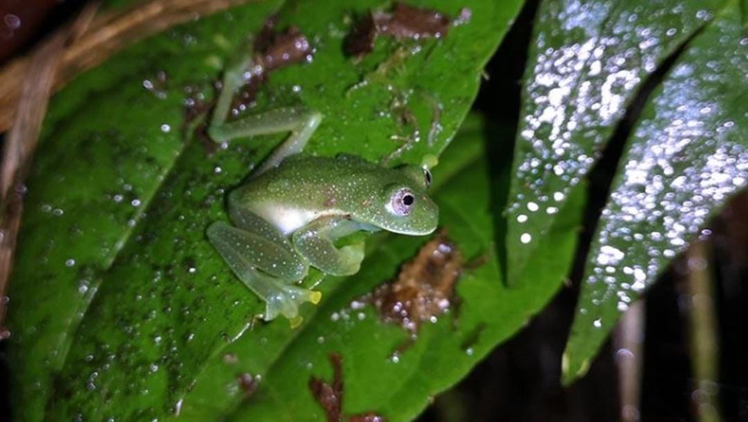 Foto: Reaparece la 'rana de cristal', que se creía extinta