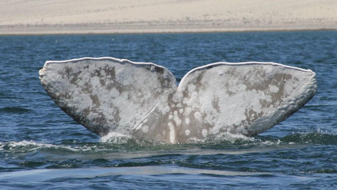 Imagen: Tras dos días de búsqueda a lo largo de las costas de Manzanillo, especialistas y oceanólogos localizaron al cetáceo en la zona de Playa de Oro e iniciaron las maniobras para liberarlo de la red