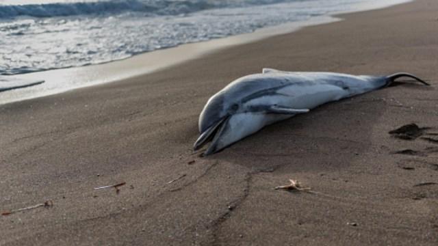 Revelan causas de muerte de un delfín en puerto Escondido