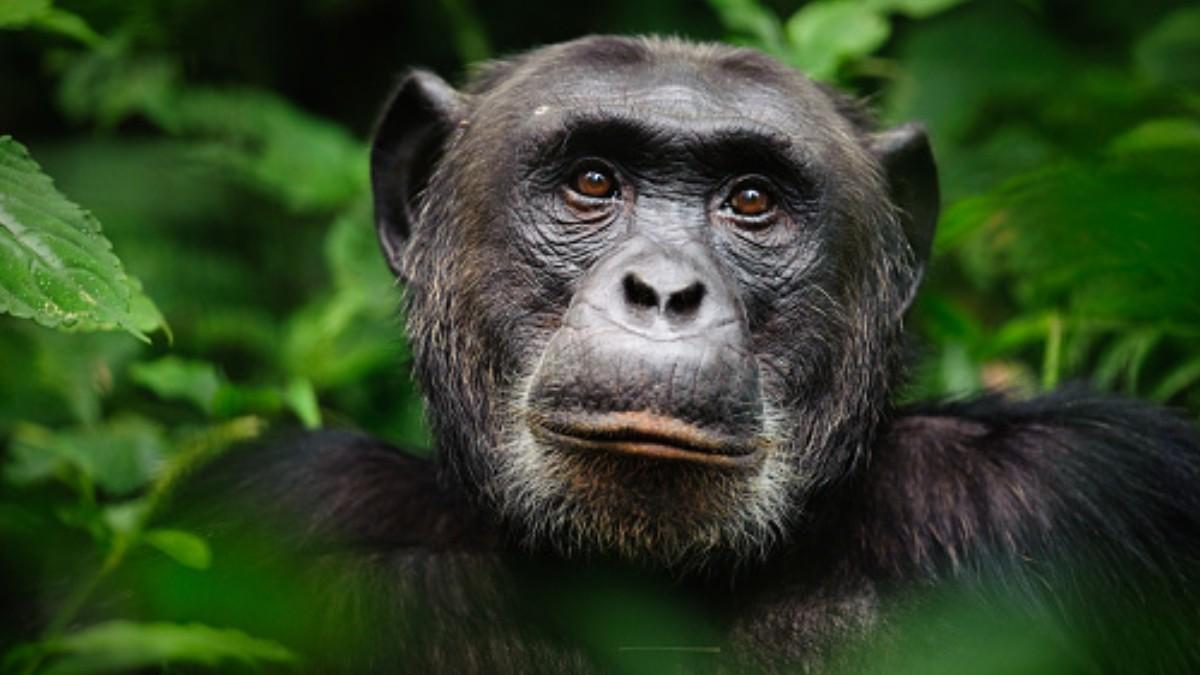 Foto: Los chimpancés están en peligro de extinción. Getty Images