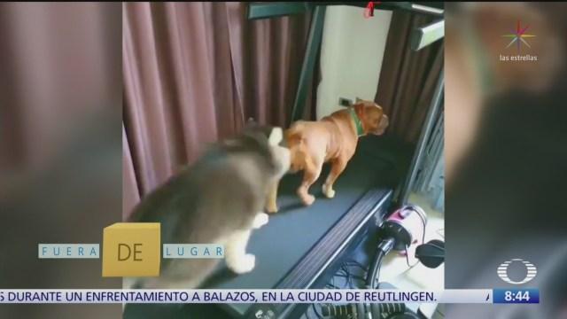 fuera de lugar perritos pelean por usar caminadora