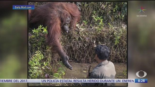 orangutan da la mano a hombre para salvarlo