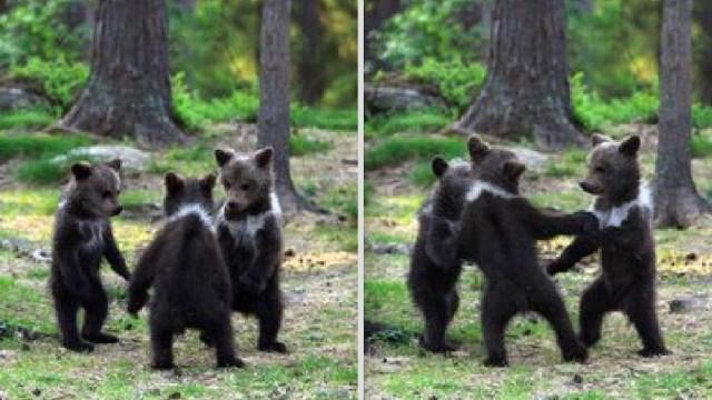 Tres-osos-ositos-bailando-Finlandia-fotos