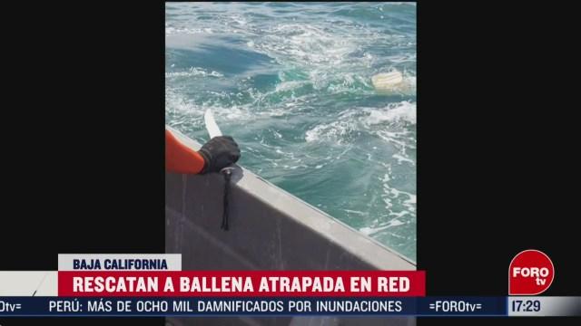 FOTO: 22 Febrero 2020, rescatan ballena atrapada en red en bala california