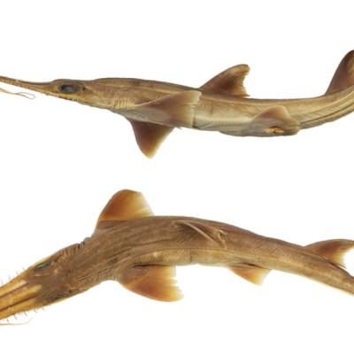 Investigadores descubren nuevas especies de tiburón en el océano Índico