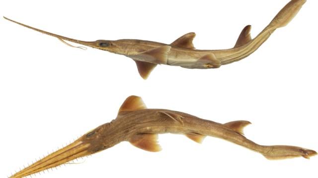 Descubren nuevas especies de tiburón en el océano Índico