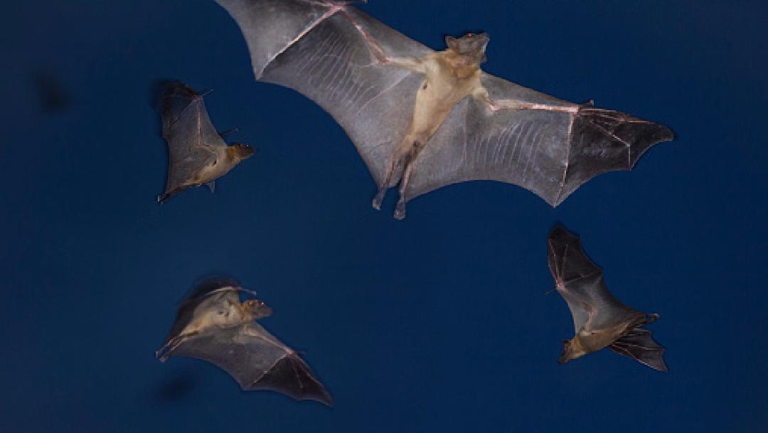 Foto: Queman a murciélagos por temor a contagio de coronavirus , 22 de marzo de 2020, (Getty Images, Archivo)