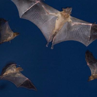 Queman murciélagos por temor a contagio de coronavirus