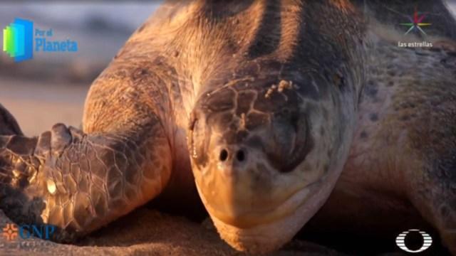Por el Planeta: El llanto de las tortugas (Noticieros Televisa)