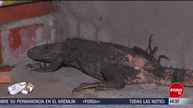 FOTO: rescatan iguana negra en la gam