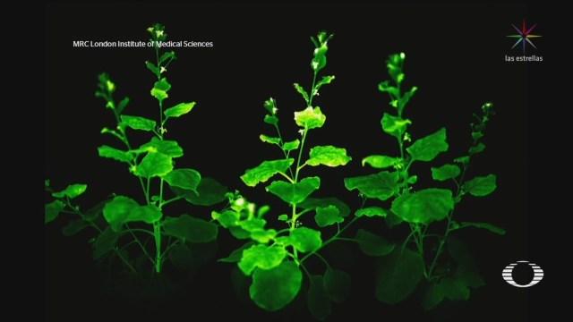 Foto: cientificos crean plantas que producen bioluminiscencia 29 Abril 2020
