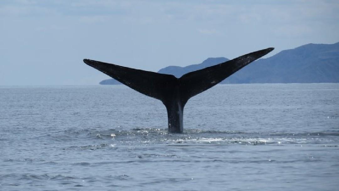 Foto: Reportan avistamiento de ballena azul en Baja California Sur, 8 de abril de 2020, (Comisión Nacional de reas Naturales Protegidas)