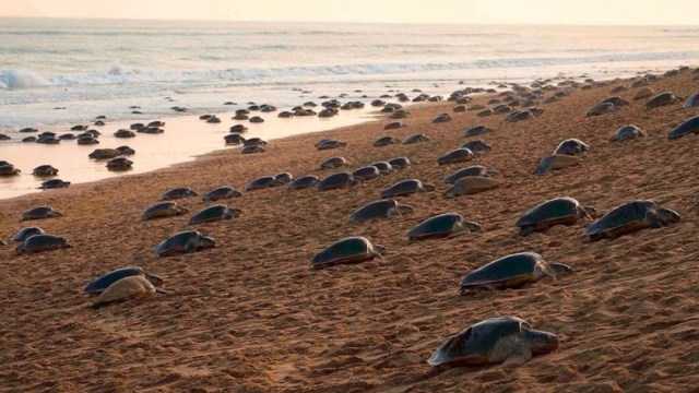India: Tortugas anidan durante contingencia por coronavirus