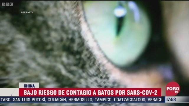 FOTO: gatos si pueden contagiarse por coronavirus estudio