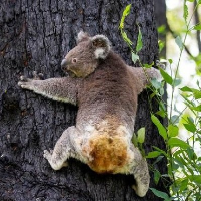 Koalas heridos durante incendios forestales en Australia regresan a su hábitat