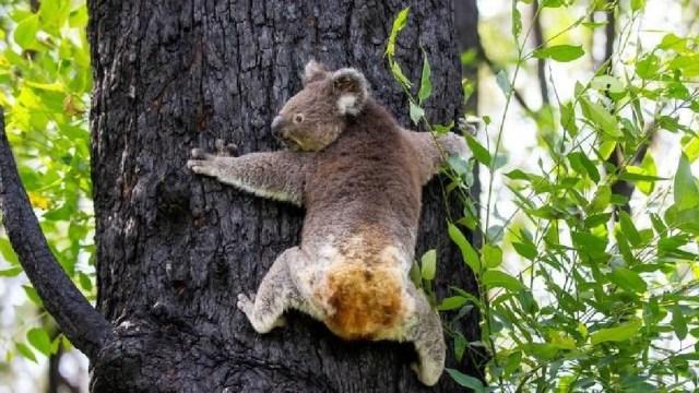 Koalas heridos en incendios de Australia vuelven al hábitat