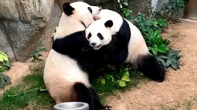 Coronavirus: Pandas se aparean gracias a cuarentena