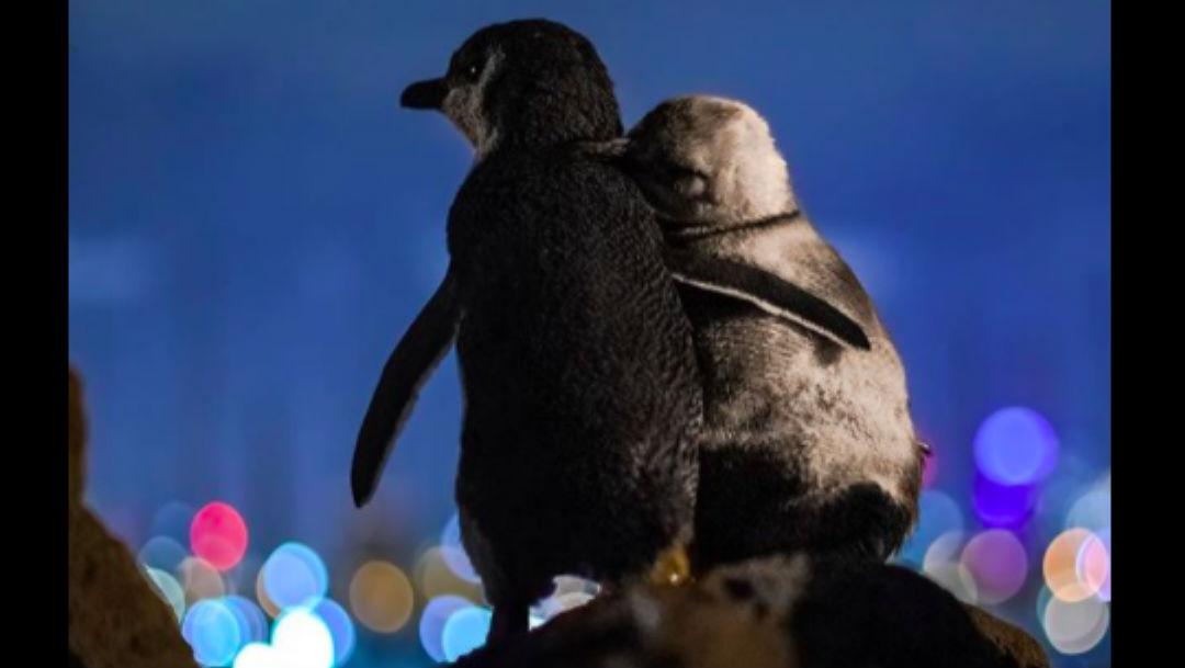 Foto Fotografía de pingüinos viudos conmueve a las redes sociales 23 abril 2020