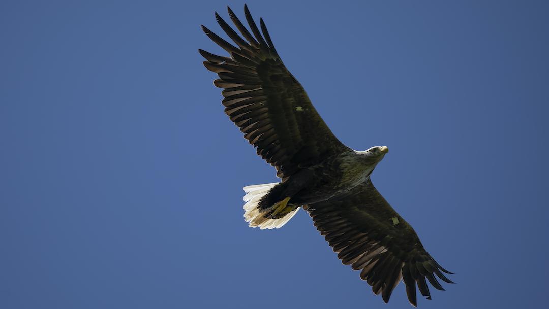 Foto Águilas cola blanca surcan los cielos de Inglaterra tras 240 años de ausencia 5 mayo 2020