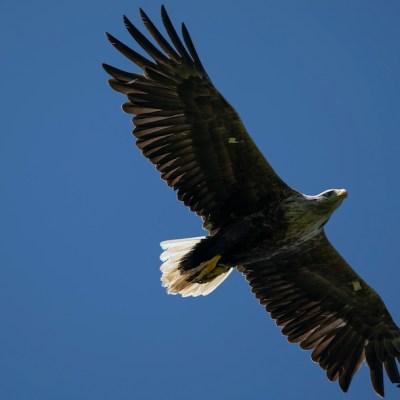 Águilas cola blanca surcan los cielos de Inglaterra tras 240 años de ausencia