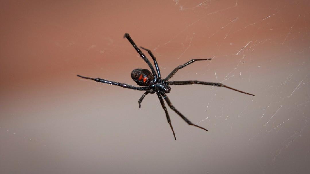 Arana-viuda-Spiderman-Bolivia-ninos