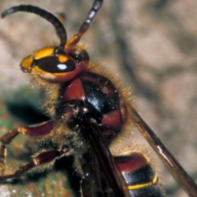 Avispa gigante de Japón llega a EEUU; temen que acabe con población de abejas
