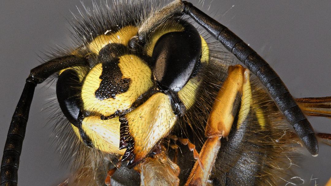FOTO: México activa vigilancia para prevenir la entrada de avispón gigante asiático, el 9 de mayo de 2020