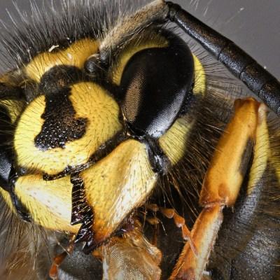 Hombre muere en España tras picadura de avispón asiático