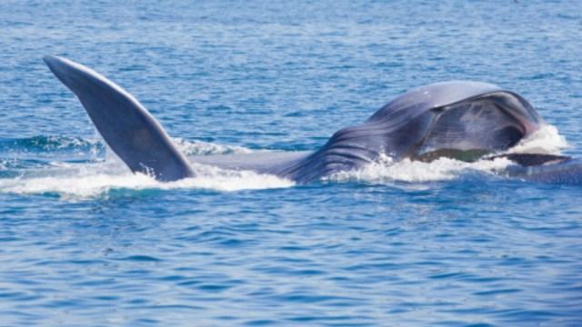 Hallan muerta una ballena azul en costas de Oaxaca