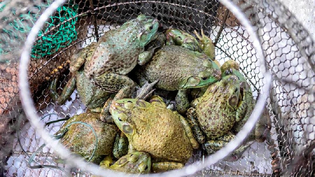 Foto: Wuhan prohibe consumo de animales salvajes tras pandemia de coronavirus, 20 de mayo de 2020, (EFE)