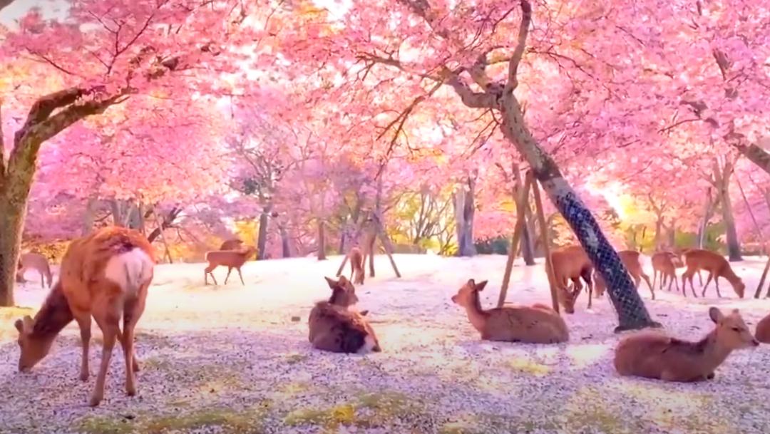Ciervos descansando bajo cerezos de Japón se hacen virales