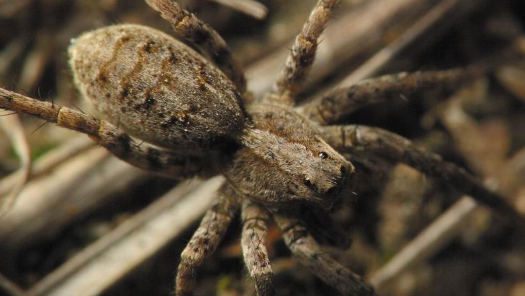 ¿Por que las arañas lobo del ártico se vuelven caníbales?