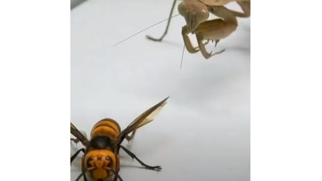 Video: Mantis religiosa pelea contra 'avispón asesino'