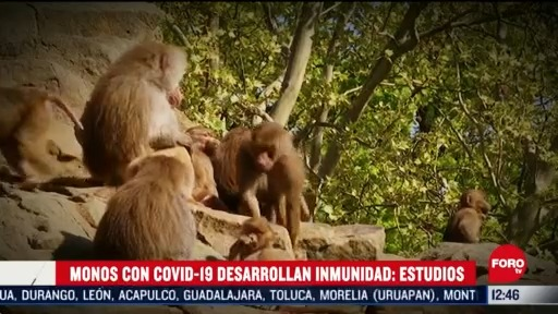 hacen estudios con monos para probar inmunidad ante coronavirus
