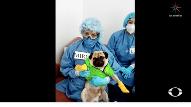 'Harley', perro terapéutico de médicos que tratan COVID-19