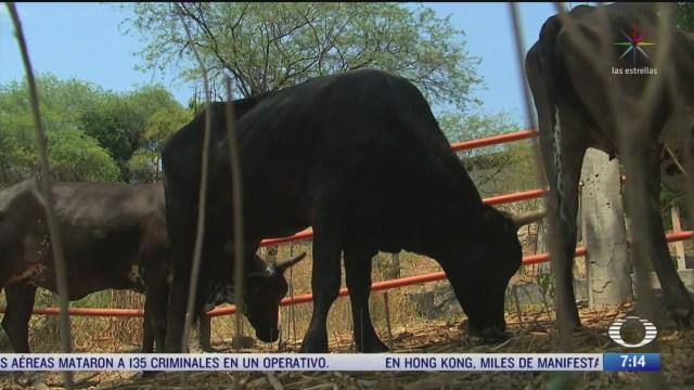 miles de cabezas de ganado podrian morir de hambre en morelos