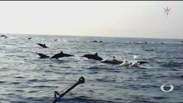 Video:Miles de delfines tornillo nadan en la costa de Oaxaca