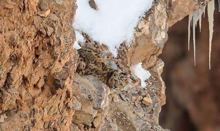 Foto Reto visual Puedes encontrar al leopardo en la montaña 1 abril 2020