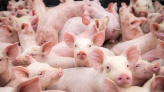 Alertan sobre nueva cepa de gripe porcina que contagiaría a humanos y provocaría nueva pandemia