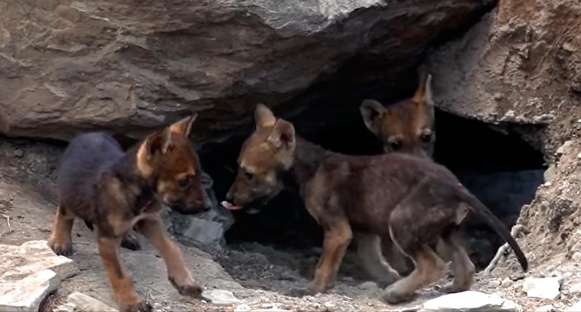 Nacen 8 cachorros de lobo gris mexicano en Saltillo