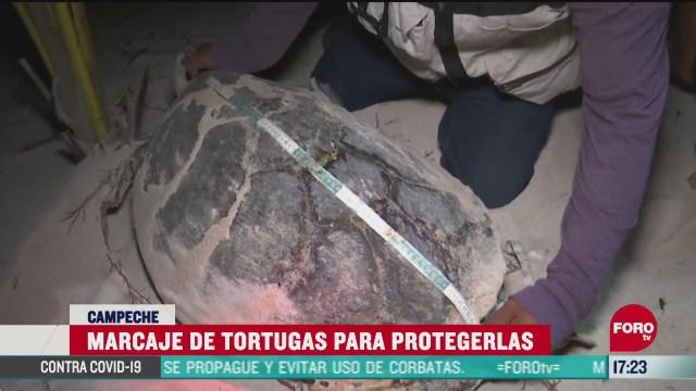 FOTO: 20 de junio 2020, realizan marcaje de tortugas marinas en campeche para poderlas identificar